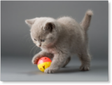 Kitten chasing ball